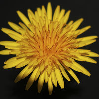 Buy canvas prints of Dandelion Flower by Alan Harman