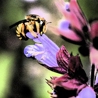 Buy canvas prints of Bee and Flower by Alan Harman