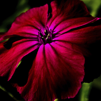 Buy canvas prints of Purple Wild Flower by Alan Harman