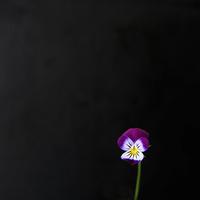 Buy canvas prints of Violet Flower by Alan Harman
