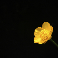 Buy canvas prints of Buttercup Flower by Alan Harman