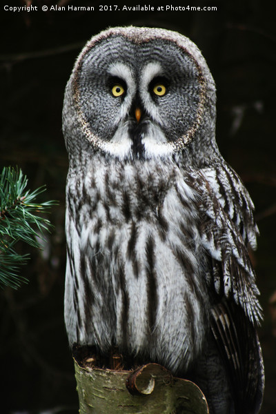 The Great Grey Owl Canvas Print by Alan Harman