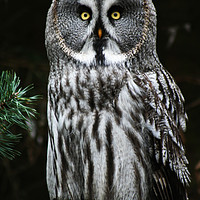 Buy canvas prints of The Great Grey Owl by Alan Harman