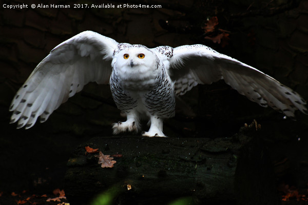 Snowy Owl With Open Wings Canvas print by Alan Harman