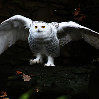Buy canvas prints of Snowy Owl With Open Wings by Alan Harman