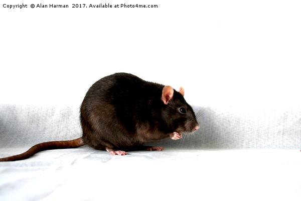 Rat Canvas print by Alan Harman