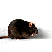 Buy canvas prints of Rat by Alan Harman