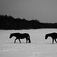 Buy canvas prints of Horses On Snow by Alan Harman