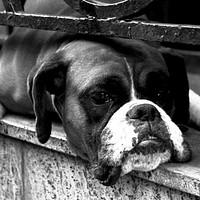 Buy canvas prints of Boxer Dog On Windowsill by Alan Harman