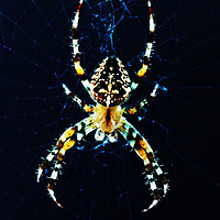 Buy canvas prints of European Garden Spider by Alan Harman