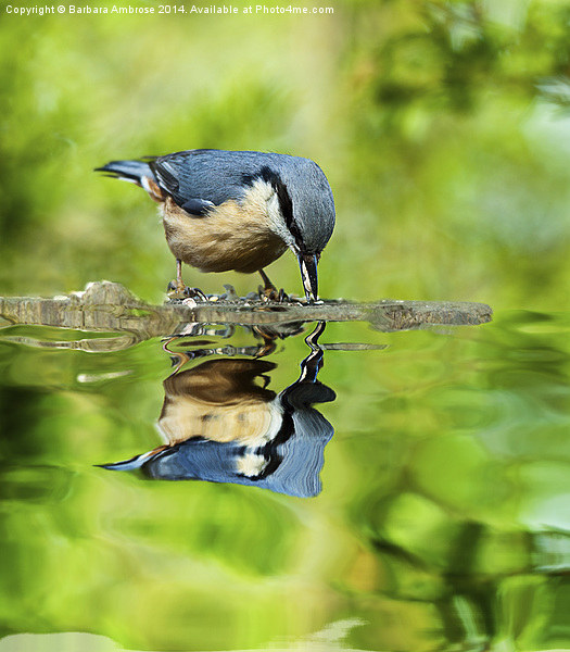 Nuthatch reflections Canvas print by Barbara Ambrose