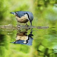 Buy canvas prints of Nuthatch reflections by Barbara Ambrose