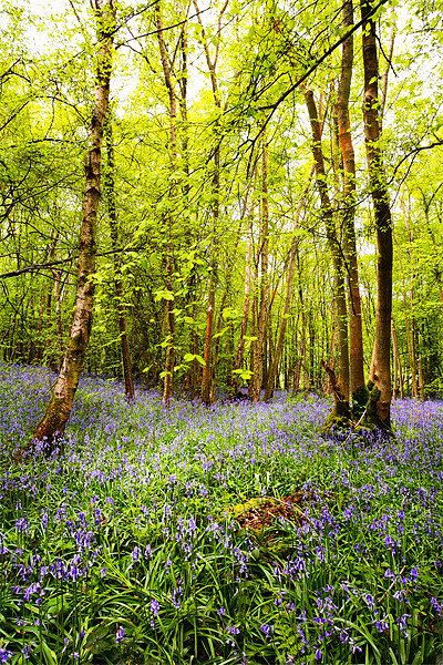 Bluebells and Trees Canvas Print by Robert  Radford