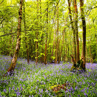 Buy canvas prints of Bluebells and Trees by Robert  Radford