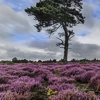 Buy canvas prints of  Alone In The Heather by keith sayer