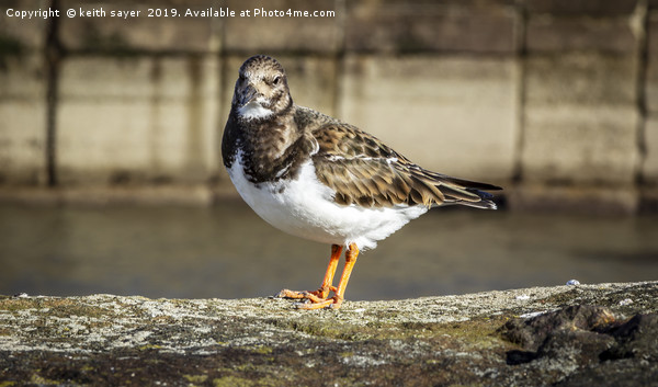 Turnstone Whitby North Yorkshire Canvas Print by keith sayer