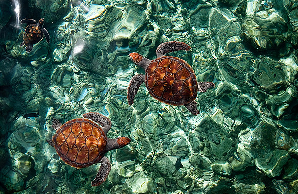 Fragile Underwater World. Sea Turtles in a Crystal Canvas print by Jenny Rainbow
