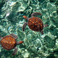 Buy canvas prints of Fragile Underwater World. Sea Turtles in a Crystal by Jenny Rainbow