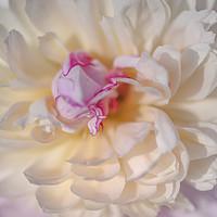 Buy canvas prints of Peony Bowl of Beauty Macro by Jenny Rainbow