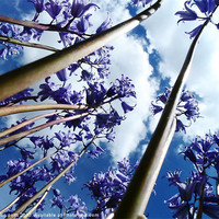 Buy canvas prints of Bluebell trees by colin potts