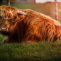 Buy canvas prints of Lazy Moo by richard sayer