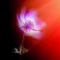 Buy canvas prints of Anemone by richard sayer