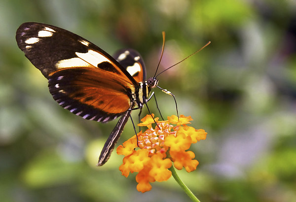 Butterfly on a flower Canvas print by Gary Kenyon