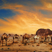 Buy canvas prints of Camels in Wadi Rum by Jelena Jovanovic