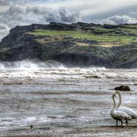 Buy canvas prints of Swans on the Beach - Robin Hoods Bay by Steve Clark