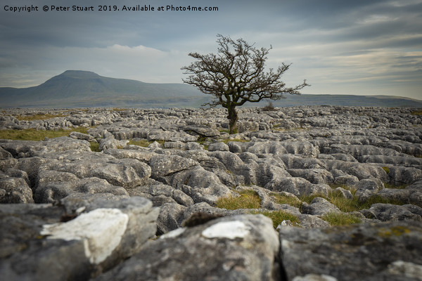 Lone tree and Ingleborough Canvas print by Peter Stuart