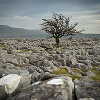 Buy canvas prints of Lone tree and Ingleborough by Peter Stuart