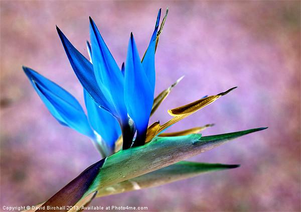 Bird Of Paradise Bloom Canvas print by David Birchall