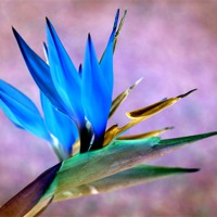 Buy canvas prints of Bird Of Paradise Bloom by David Birchall