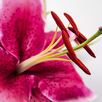 Buy canvas prints of  Beautiful Pink Lily by Helen Holmes