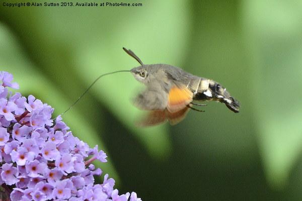 Hummingbird Hawk Moth feeding Canvas print by Alan Sutton