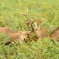 Buy canvas prints of Rutting Reds by Alan Sutton
