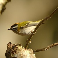 Buy canvas prints of Firecrest by Alan Sutton