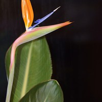 Buy canvas prints of Bird Of Paradise by Alan Sutton