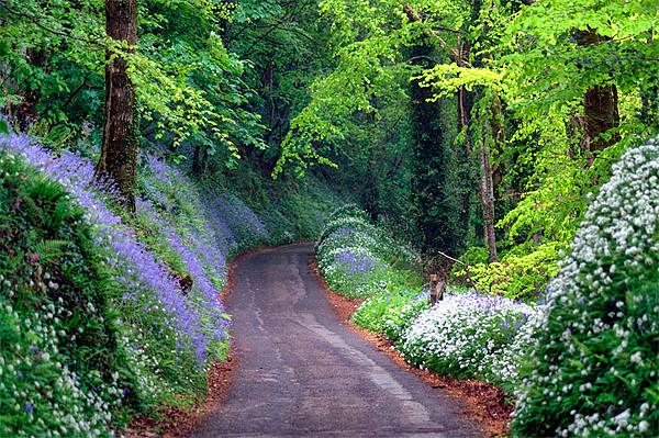 Bluebell Woods  Framed Print by Rosie Spooner