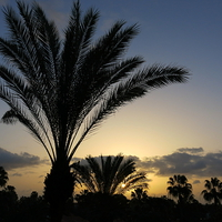 Buy canvas prints of Palm Tree Sunrise at Fuerteventura Canary Islands by Rosie Spooner