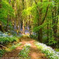 Buy canvas prints of Bluebell Woods in Cornwall by Rosie Spooner