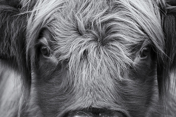 Highland Cattle V1 Canvas print by David Brown