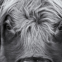 Buy canvas prints of Highland Cattle V1 by David Brown