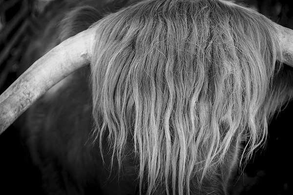 Highland Cattle V6 Canvas print by David Brown