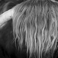 Buy canvas prints of Highland Cattle V6 by David Brown