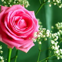 Buy canvas prints of pink rose by Robert Bennett