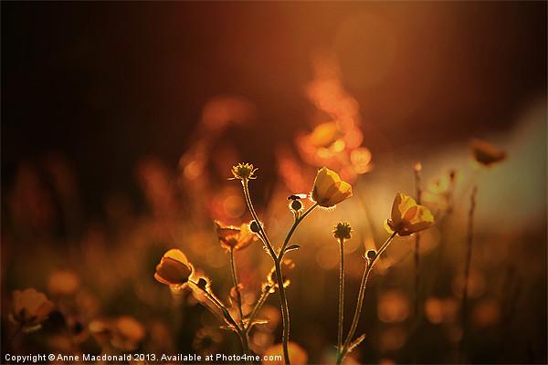 Buttercups In Sunset Ranunculus acris Canvas print by Anne Macdonald