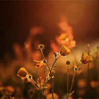 Buy canvas prints of Buttercups In Sunset Ranunculus acris by Anne Macdonald