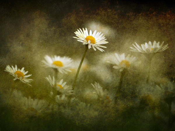 Daisies Giving A Heads Up Canvas print by Anne Macdonald