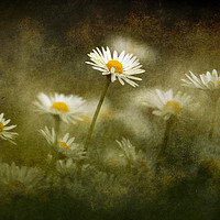 Buy canvas prints of Daisies Giving A Heads Up by Anne Macdonald